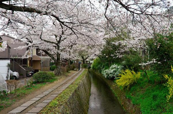 Le chemin des philosophes bordé de cerisiers en fleurs - sk - Flikr